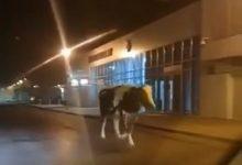 Photo of Brzesko / Komu uciekła krowa?