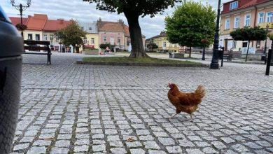 Photo of Samotna kura przemierza ulice Brzeska / 5 września 2020 r.